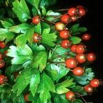 Глог (Crataegus laevigata) - Плод