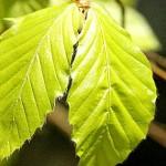 Бук обикновен (Fagus sylvatica) - Листа