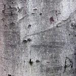 Бук обикновен (Fagus sylvatica) - Кора
