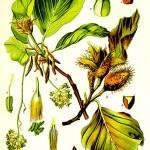 Бук обикновен (Fagus sylvatica) - Отличителни белези