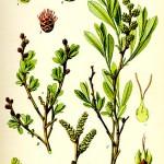Блатна мирта (Myrica gale) - Отличителни белези