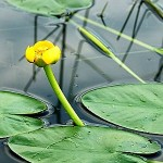 Водна роза, бърдуче (Nuphar lutea) - Външен вид