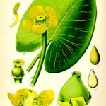 Водна роза, бърдуче (Nuphar lutea) - Отличителни белези