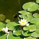 Водна лилия (Nymphaea alba) - Външен вид