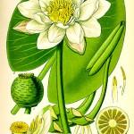 Водна лилия (Nymphaea alba) - Отличителни белези