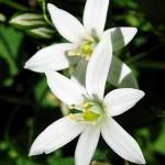 Гарванов лук, Витлеемска звезда (Ornithogalum umbellatum) - Цвят