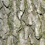 Бял бор (Pinus sylvestris) - Кора