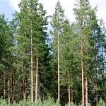 Бял бор (Pinus sylvestris) - Външен вид