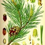 Бял бор (Pinus sylvestris) - Отличителни белези