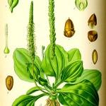 Живовляк широколистен (Plantago major) - Отличителни белези
