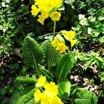 Иглика  (Primula officinalis) - Външен вид