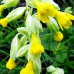 Иглика  (Primula officinalis) - Цвят