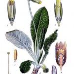 Иглика  (Primula officinalis) - Отличителни белези