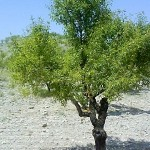 Бадем (Prunus amygdalus) - Външен вид