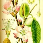 Бадем (Prunus amygdalus) - Отличителни белези