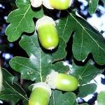 Дъб (Quercus spp) - Плод (жълъди)