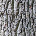 Дъб (Quercus spp) - Кора
