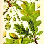 Дъб (Quercus spp) - Отличителни белези
