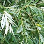 Бяла върба (Salix alba) - Листа