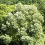 Бяла върба (Salix alba) - Цялостен вид