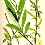 Бяла върба (Salix alba) - Отличителни белези