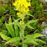 Жълт енчец, Златна пръчица (Solidago virgaurea) - Външен вид