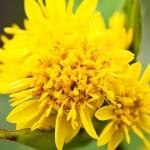 Жълт енчец, Златна пръчица (Solidago virgaurea) - Цвят