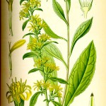 Жълт енчец, Златна пръчица (Solidago virgaurea) - Отличителни белези