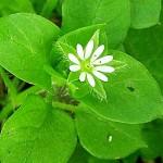 Врабчови чревца (Stellaria media) - Цвят