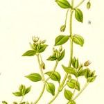 Врабчови чревца (Stellaria media) - Отличителни белези