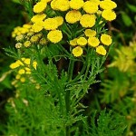 Вратига (Tanacetum vulgare) - Външен вид
