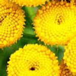 Вратига (Tanacetum vulgare) - Цветове