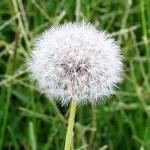 Глухарче (Taraxacum officinale) - Хвърчилка