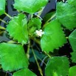 Джулюн, Воден орех (Trapa natans) - Външен вид