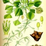 Джулюн, Воден орех (Trapa natans) - Отличителни белези