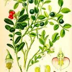 Боровинки (Vaccinium myrrtillus) - Отличителни белези
