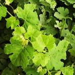 Диво грозде (Vitis vinifera) - Външен вид