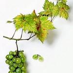Диво грозде (Vitis vinifera) - Плод