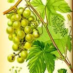 Диво грозде (Vitis vinifera) - Отличителни белези