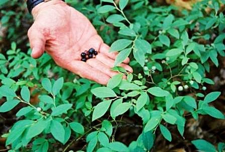 Събиране на диви растения