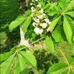 Конски кестен (Aesculus hippocastanum) - Цвят и листа