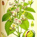 Конски кестен (Aesculus hippocastanum) - Отличителни белези