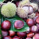 Кестен питомен (Castanea sativa) - Плодове