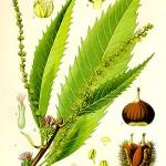 Кестен питомен (Castanea sativa) - Отличителни белези