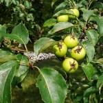 Киселица, Дива ябълка (Malus sylvestris) - Плод