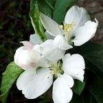 Киселица, Дива ябълка (Malus sylvestris) - Цвят