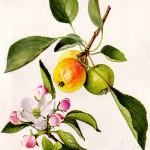 Киселица, Дива ябълка (Malus sylvestris) - Отличителни белези