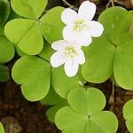 Киселиче обикновено (Oxalis acetosella) - Външен вид