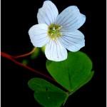 Киселиче обикновено (Oxalis acetosella) - Цвят
