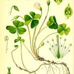 Киселиче обикновено (Oxalis acetosella) - Отличителни белези